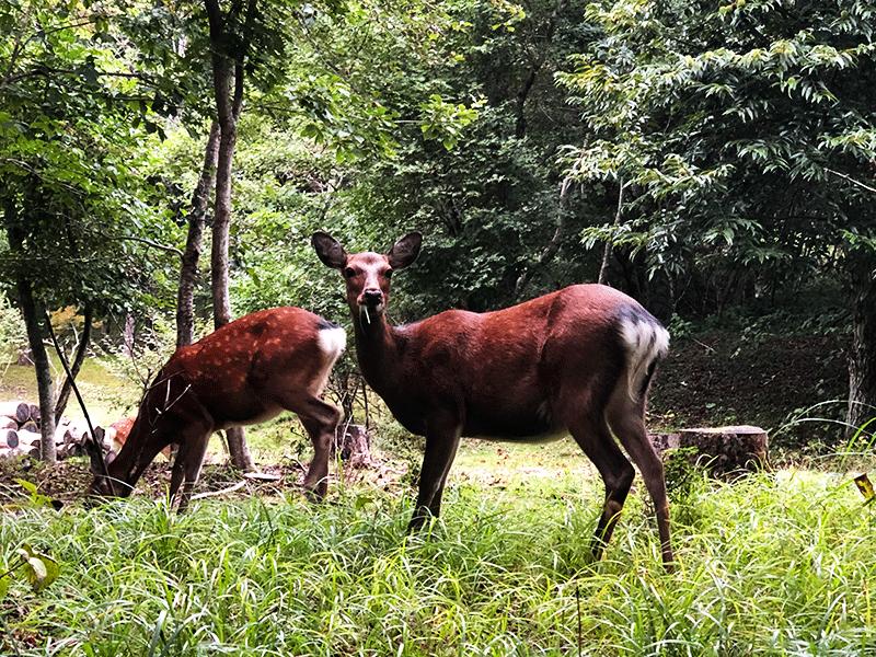 山荘周辺を散策していたら鹿さんがいました